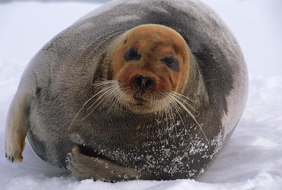 Mp Photograph - Bearded Seal Erignathus Barbatus Adult by Flip  Nicklin