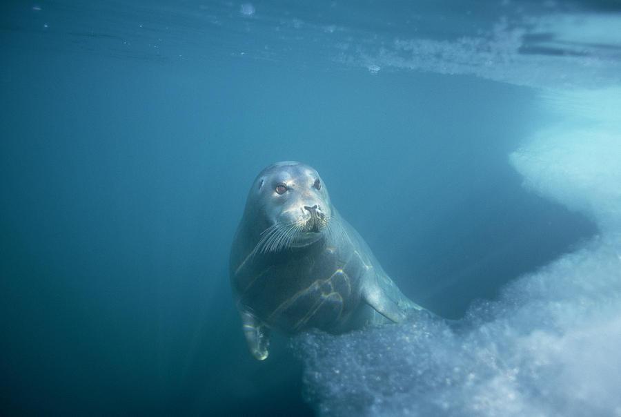 Bearded Seal Underwater Norway Photograph by Flip Nicklin