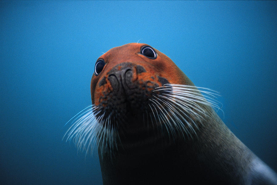 Bearded Seal With Head Stained Red Photograph by Flip Nicklin