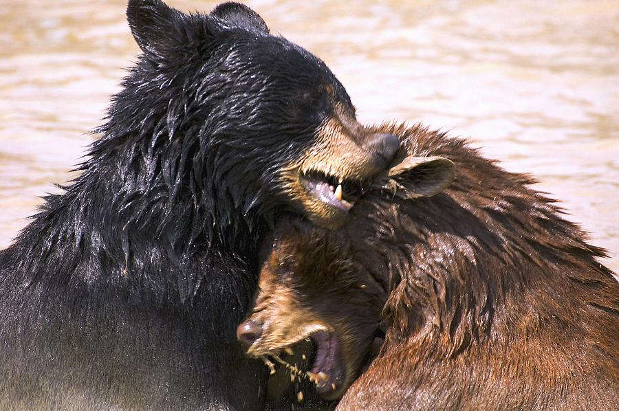Aggression Photograph - Bears In Water by Carson Ganci