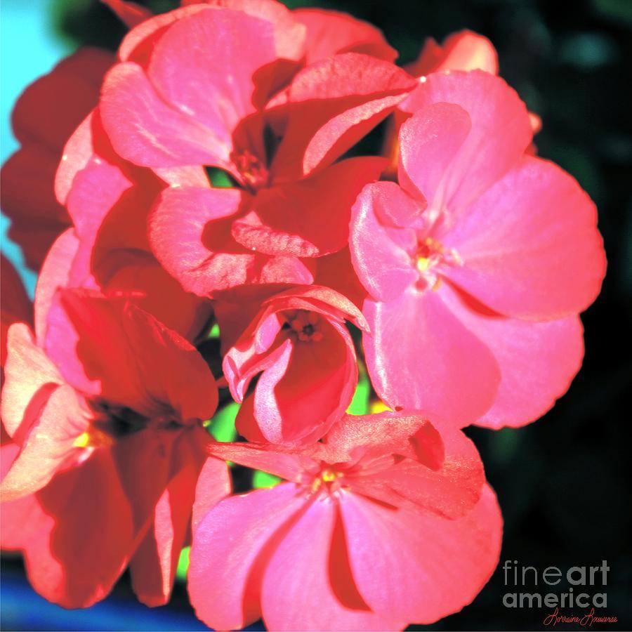 Flora Photograph - Beautiful Begonia by Lorraine Louwerse