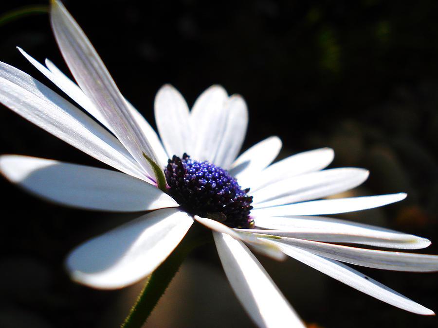 Daisy Photograph - Beautiful Daisy by Sumit Mehndiratta