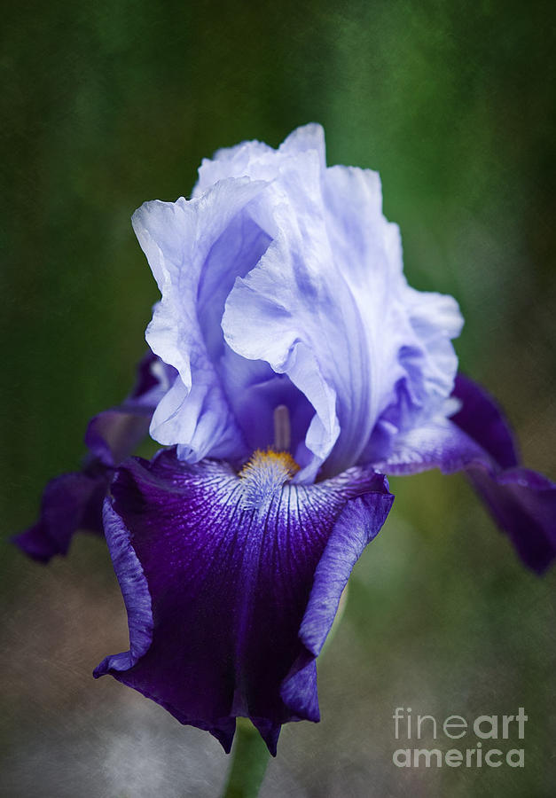 Flowers Photograph - Beautiful Iris by Bobbi Feasel