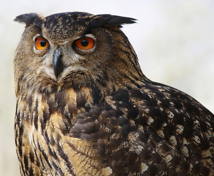 Beautiful Owl Photograph By Paulette Thomas