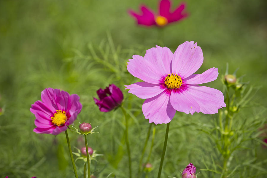 Beautiful Pink Flowers In The Garden Photograph By
