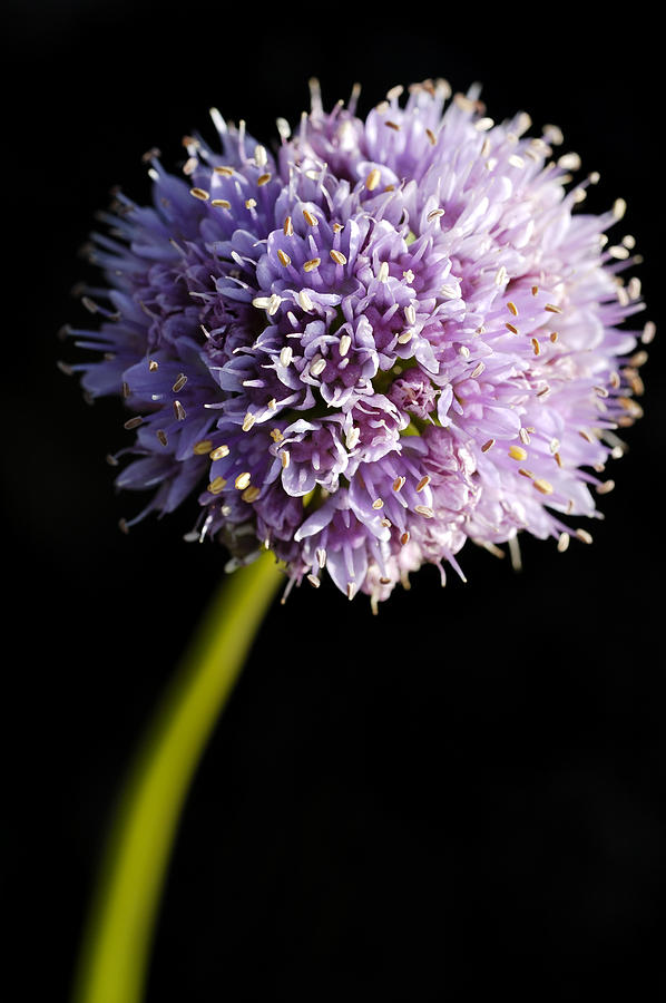 Flower Photograph - Beautiful Purple Flower With Black Background by Matthias Hauser