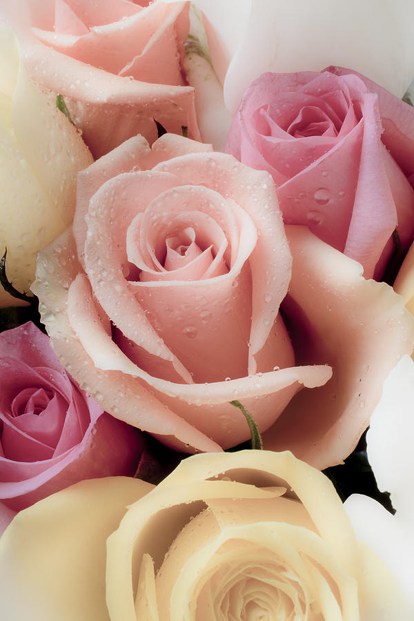 Pink Photograph - Beautiful Roses by Garry Gay