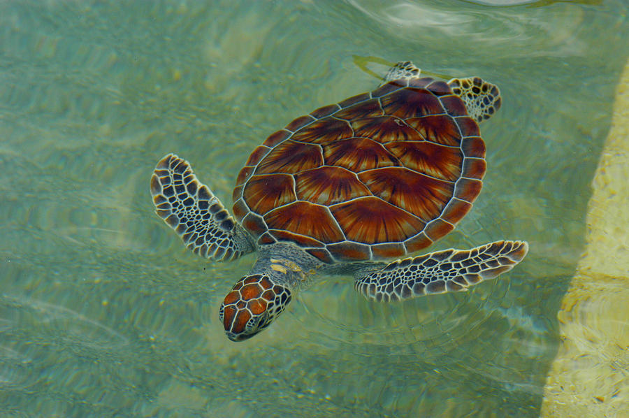 Beautiful Sea Turtle Photograph By Stacey Robinson