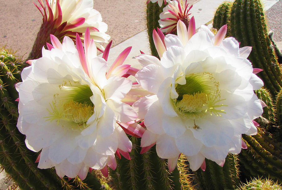 Cactus Photograph - Beautiful Twins by FeVa  Fotos