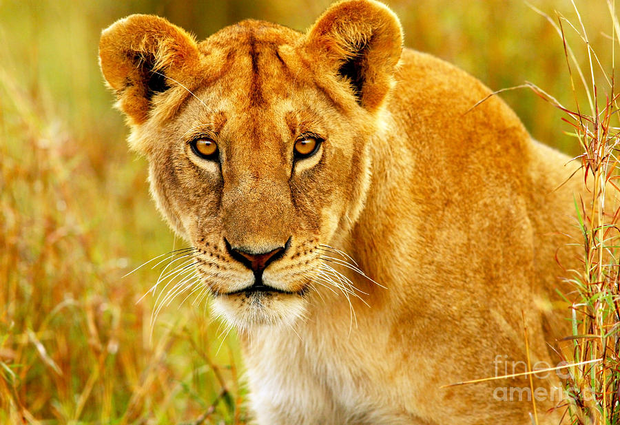 Beautiful Wild African Lioness Photograph By Anna Om