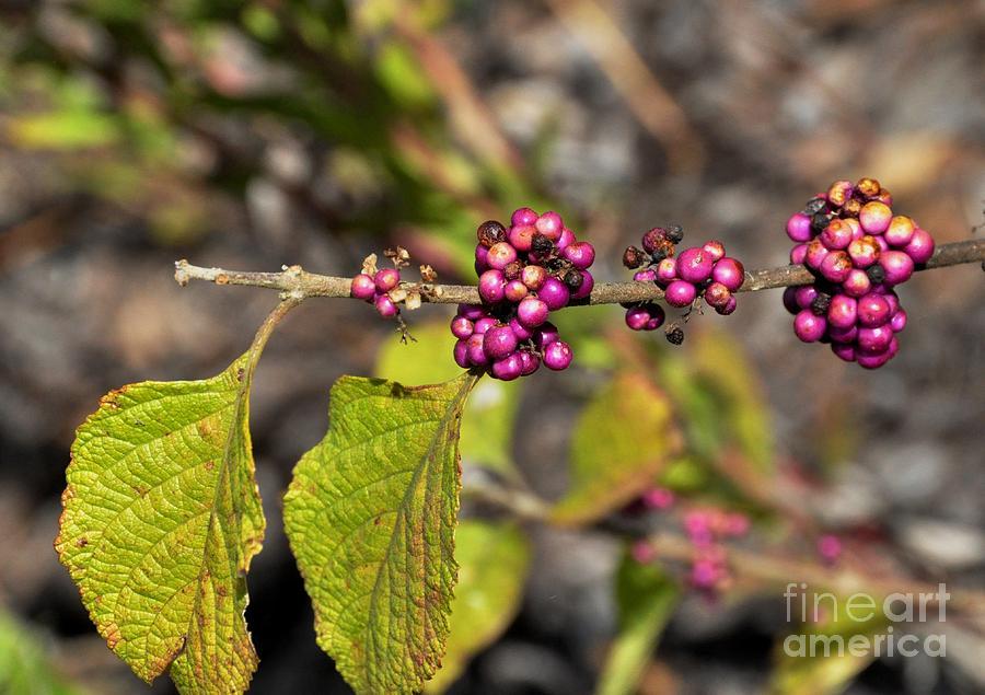 berry dark beauty - photo #32