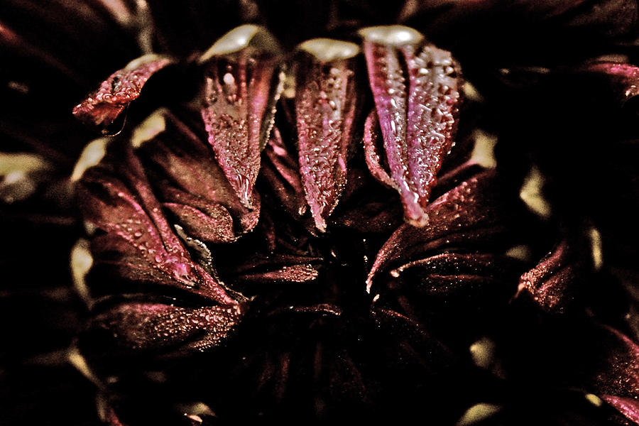 Dahlia Photograph - Beauty In Dark by Terrie Taylor