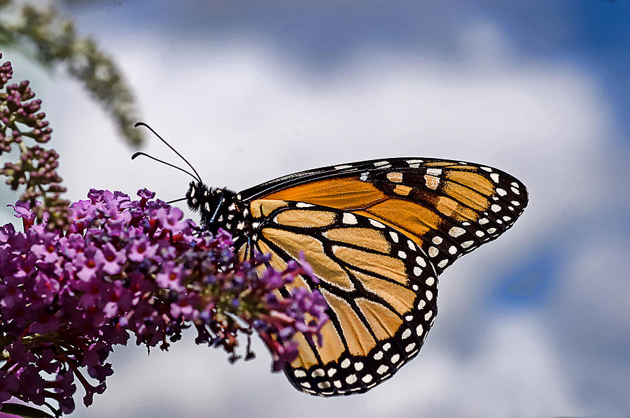 Monarch Butterfly Photograph - Beauty In The Sky by Cheryl Cencich