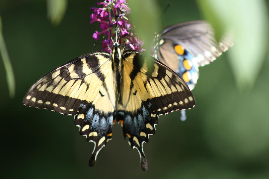 Butterfly Photograph - Beauty Of Butterflies  by Victoria  Kurlinski
