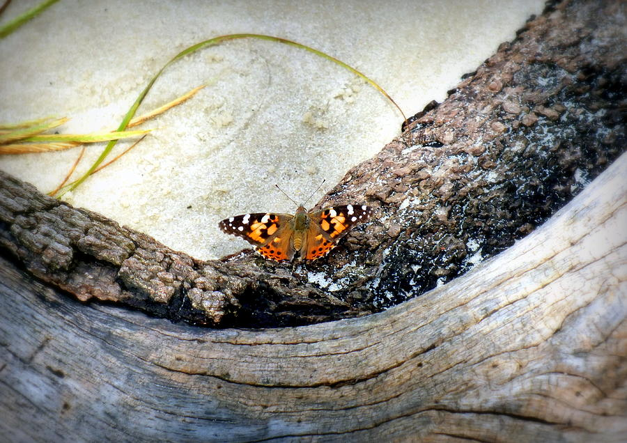 Butterfly Photograph - Beauty On The Beach by Karen Wiles