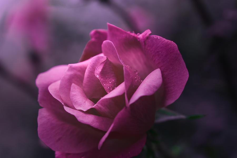 Rose Photograph - Beauty Revisited by Kelly Rader