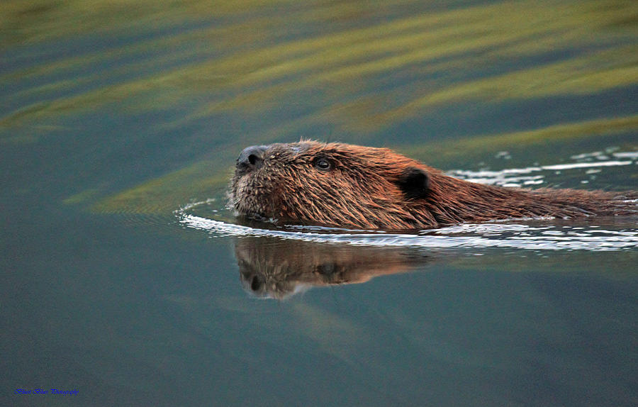Beaver Photograph - Beaver 3 by Ed Nicholles