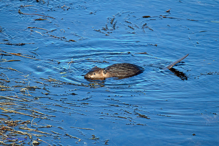 Beaver Photograph - Beaver 6 by Ed Nicholles
