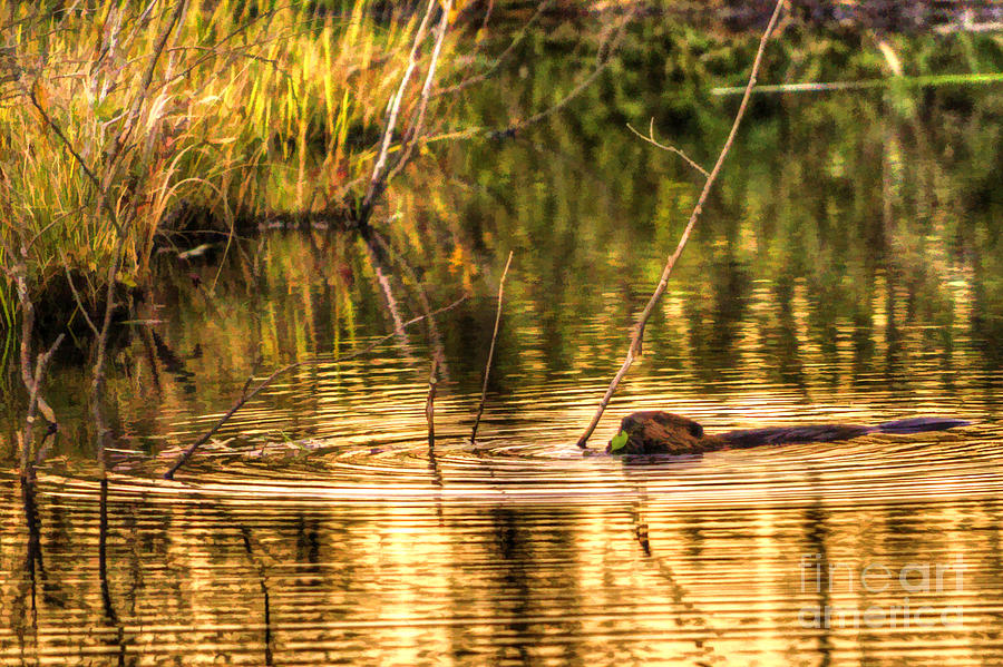 Beaver Photograph - Beaver Eating Late Evening by Dan Friend