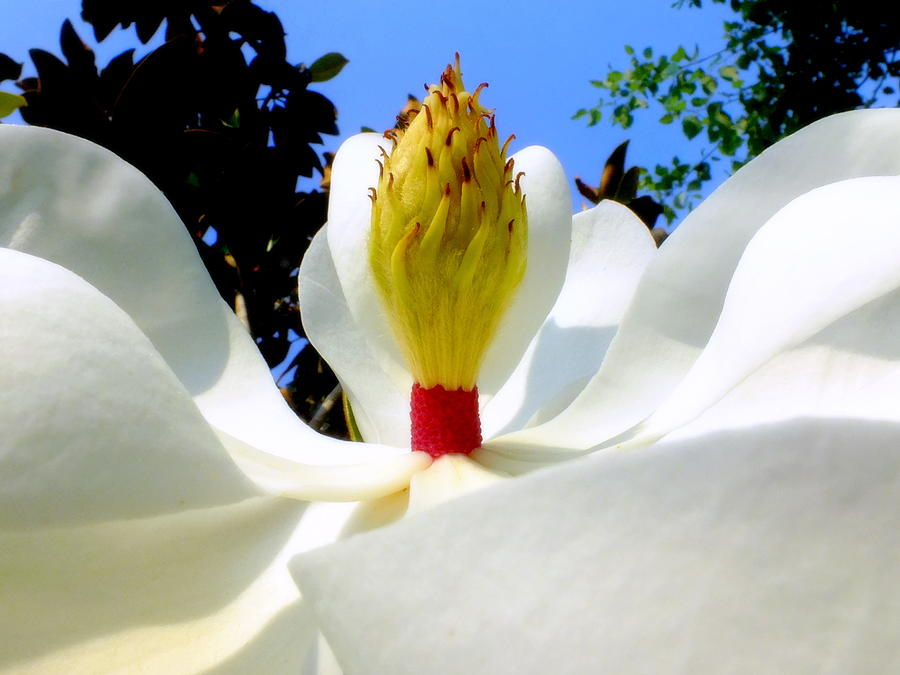 Magnolias Photograph - Bed Of Magnolia by Karen Wiles