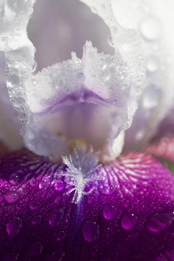 Iris Germanica Photograph - Bedazzled Purple And White Iris by Kathy Clark