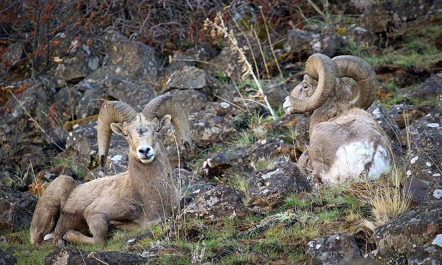 Rams Photograph - Bedded Pair by Steve McKinzie