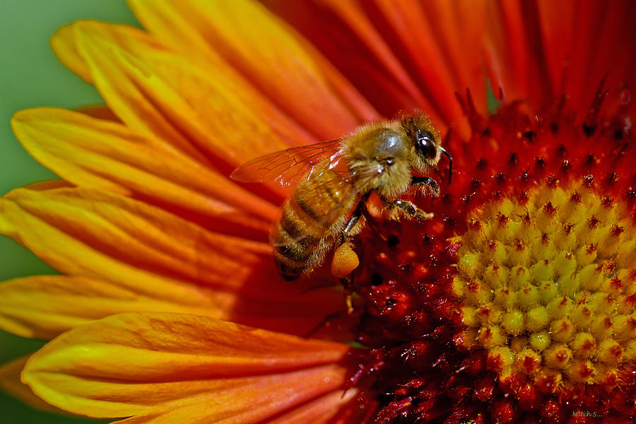 Honey Bee Photograph - Bee 12 by Mitch Shindelbower