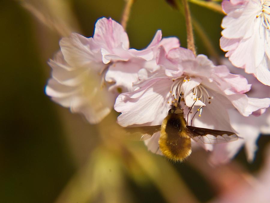 Bombyliidae Photograph - Bee Fly Feeding 1 by Douglas Barnett