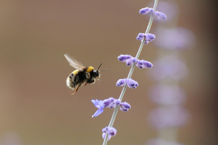 Horizontal Photograph - Bee Flying Towards Flowers by Darren Moston