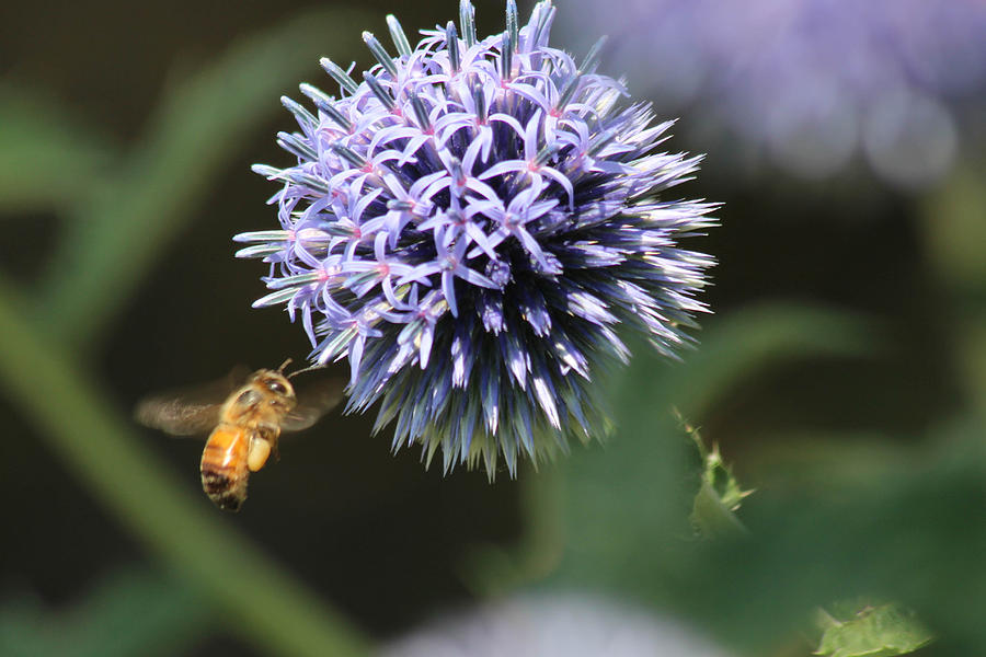 Landscape Photograph - Bee In Flight by Janet Mcconnell