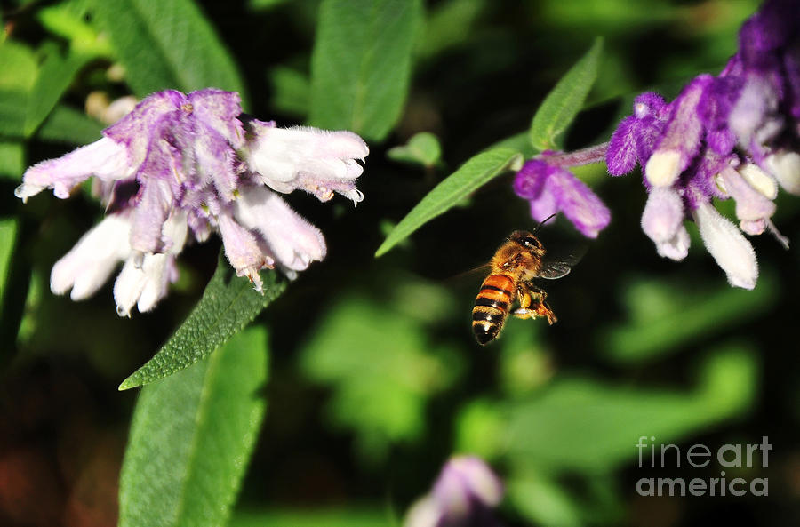 Bee Photograph - Bee In Flight by Kaye Menner
