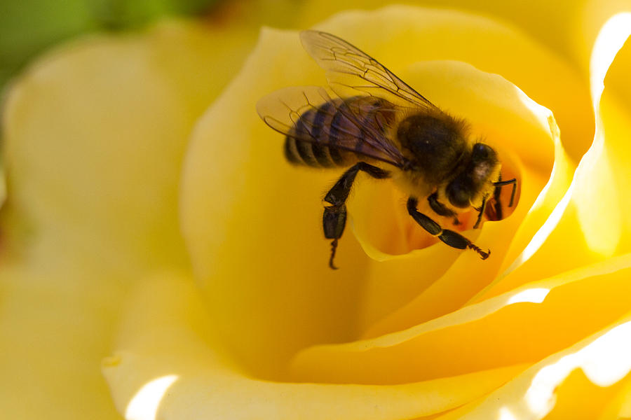 Bee Photograph - Bee Looking Down The Center Of A Yellow Rose by Dina Calvarese