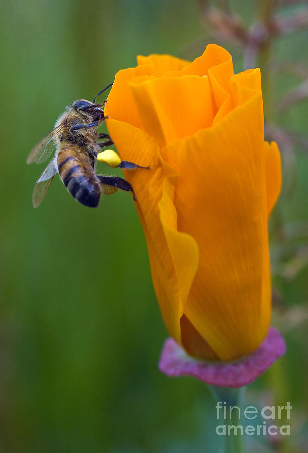 Bees Photograph - Bee On A Poppy by Bobbi Feasel