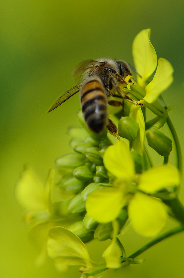 Background Photograph - Bee on a yellow background by Michael Goyberg