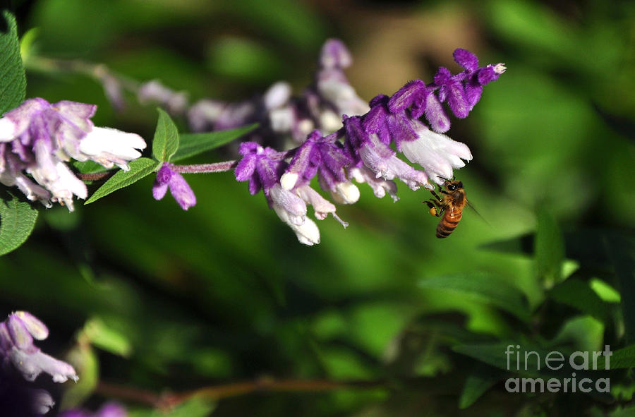 Bee Photograph - Bee On Flower by Kaye Menner