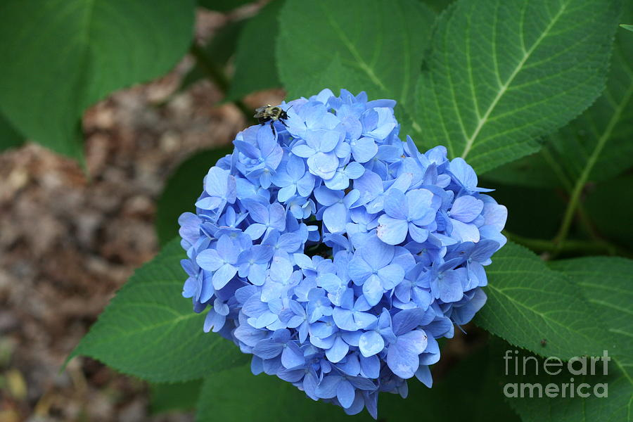 Blue Photograph - Bee On Hydrangea by Michael Waters
