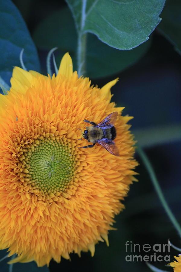 Bee Photograph - Bee On Teddybear Sunflower 2012 by Marjorie Imbeau