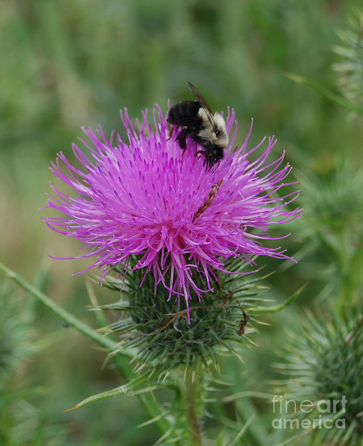 Bee On Thistle Photograph