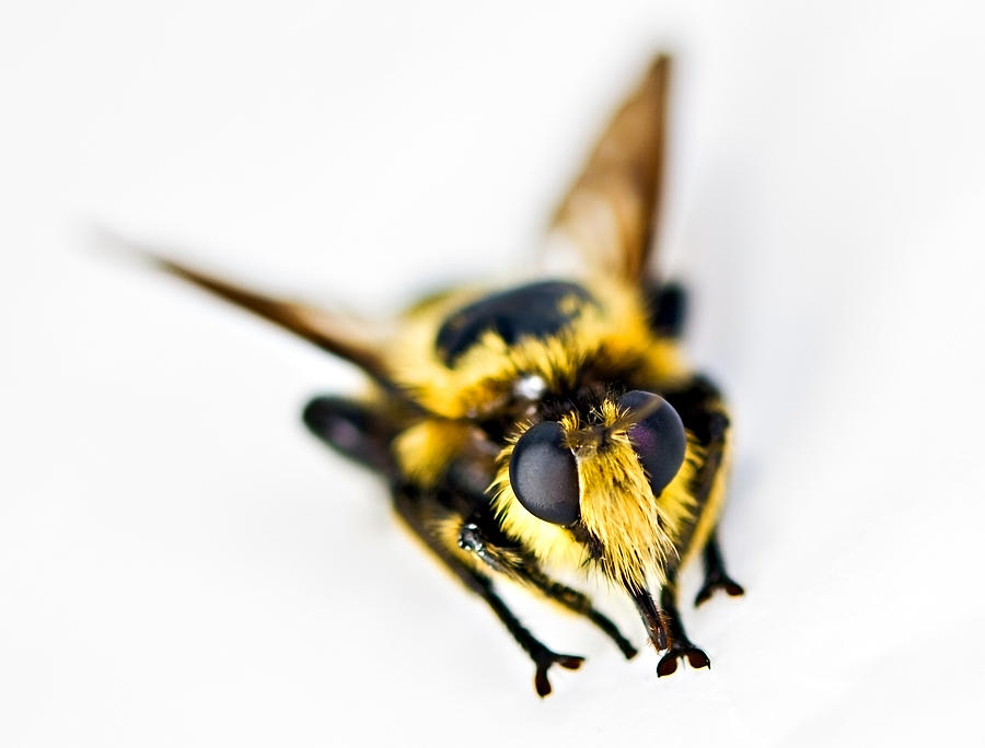 Insect Photograph - Bee by Susan Leggett