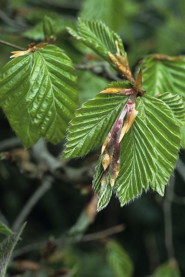 Beech Photograph - Beech Leaves by David Aubrey