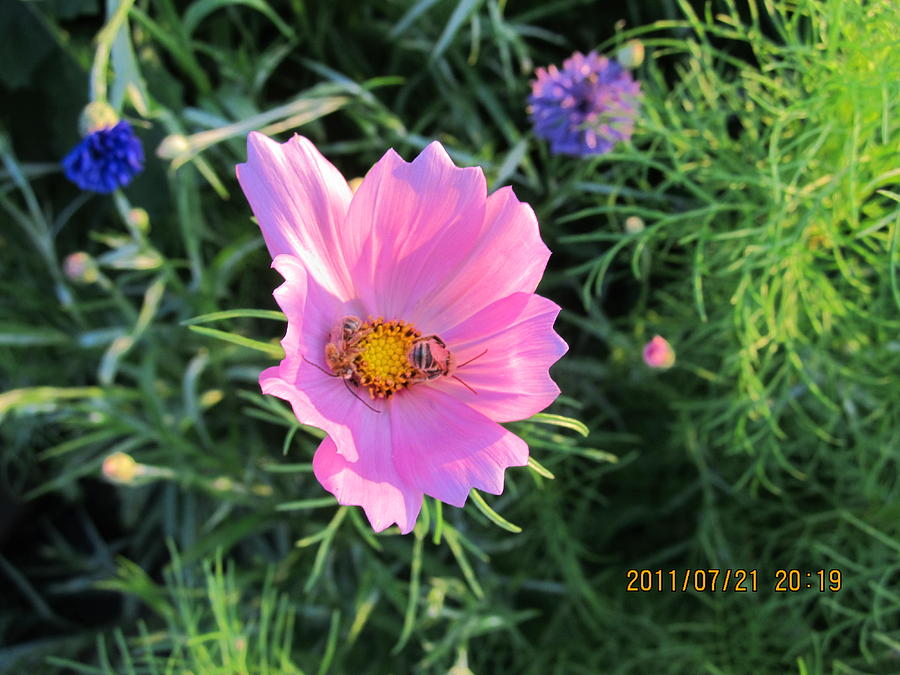 Bees Photograph - Bees Favorite Flower Two by Tina M Wenger