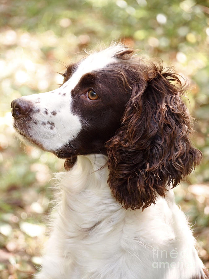 Before The Hunt - English Springer Spaniel Photograph by ...