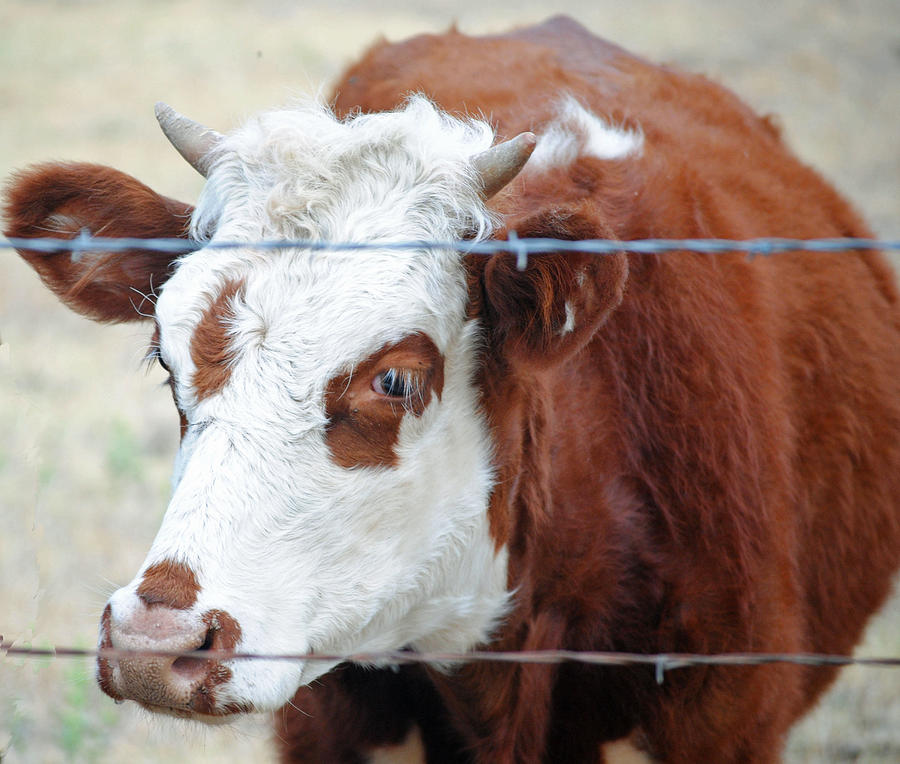 Cow Photograph - Behind Barbs by Lisa Moore