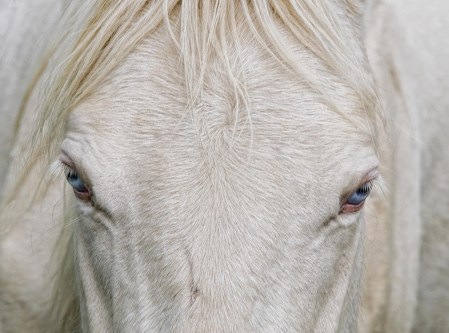 Horse Photograph - Behind Blue Eyes by Heather  Rivet