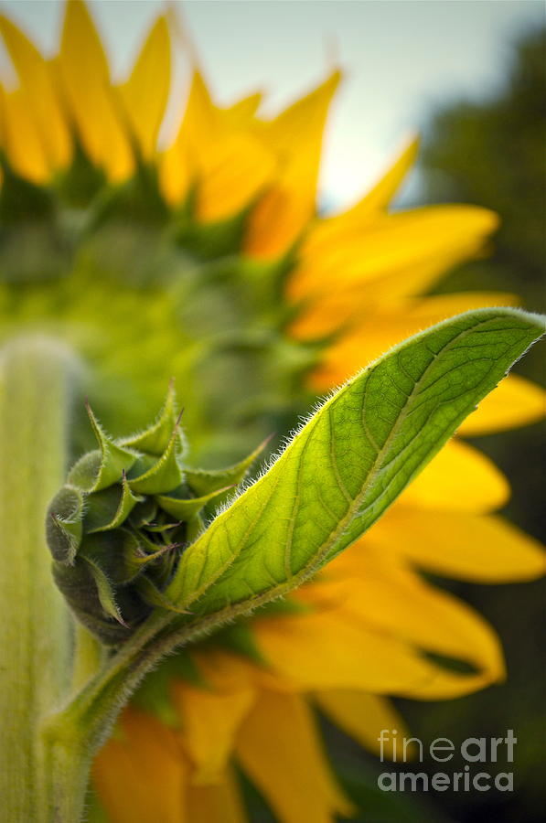 Sunflower Photograph - Behind My Back by Gwyn Newcombe