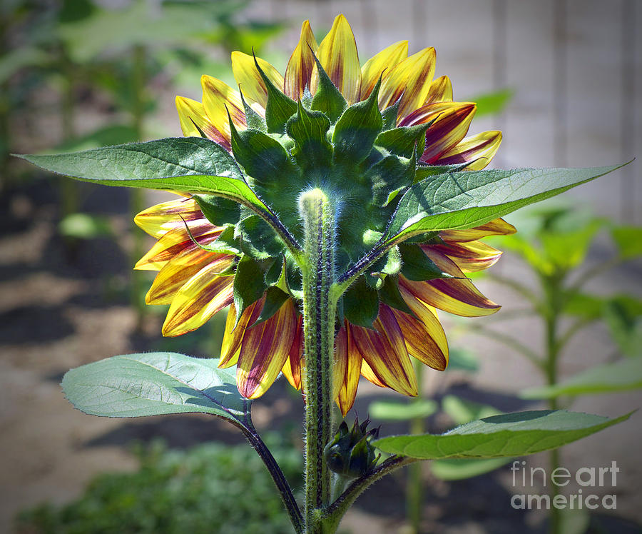 Sunflower Photograph - Behind You by Gwyn Newcombe