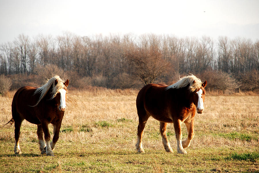 Horse Photograph - Belgian Giants by Jacqueline Kinsey