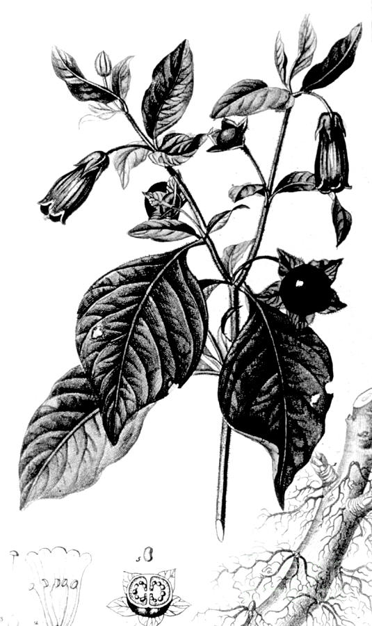Belladonna Alchemy Plant Photograph By Science Source