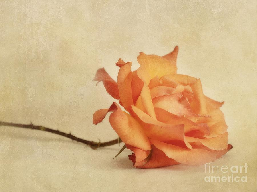 Rose Photograph - Bellezza by Priska Wettstein