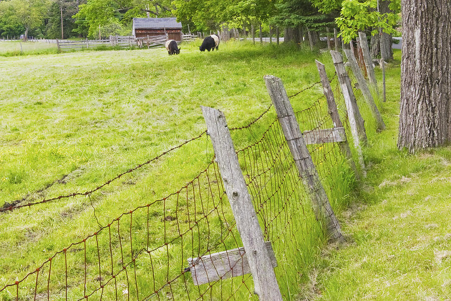 Cow Photograph - Belted Galloway Cows Farm Rockport Maine by Keith Webber Jr
